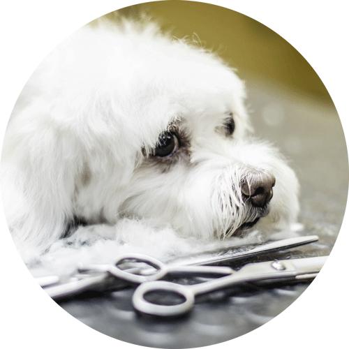Hund mit speziellen Frisierscheren