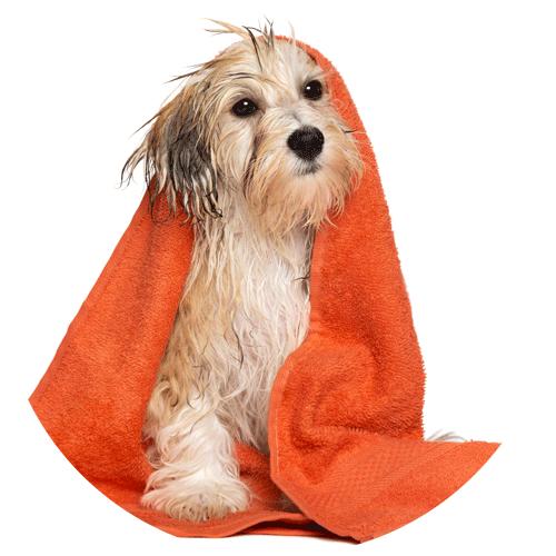 Hund, in ein Handtuch gewickelt